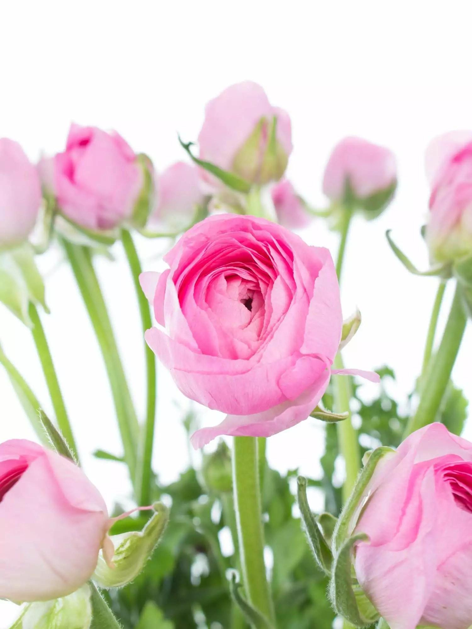 Ranunkeln Pink rosa bestellen  Blumigo