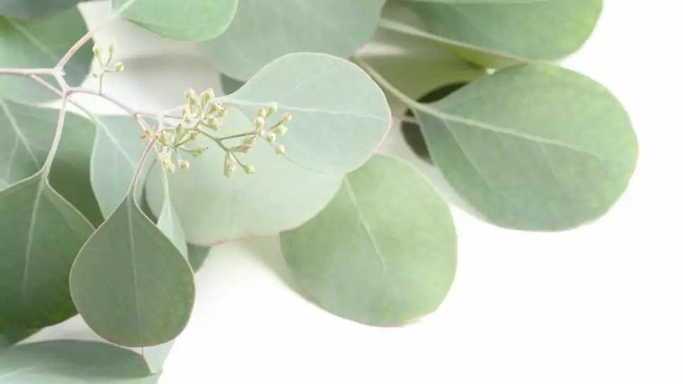 Eukalyptus online bestellen  Blumigo