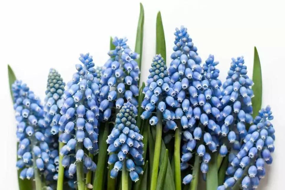Blaue Blumen  Welche Schnittblumen blhen blau  Blumigo