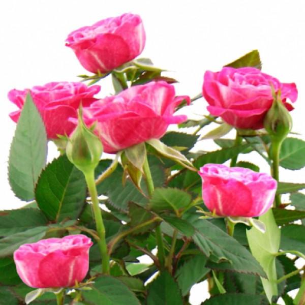Pflanzgesteck Rosenwiese Blumenversand  Bluvesade