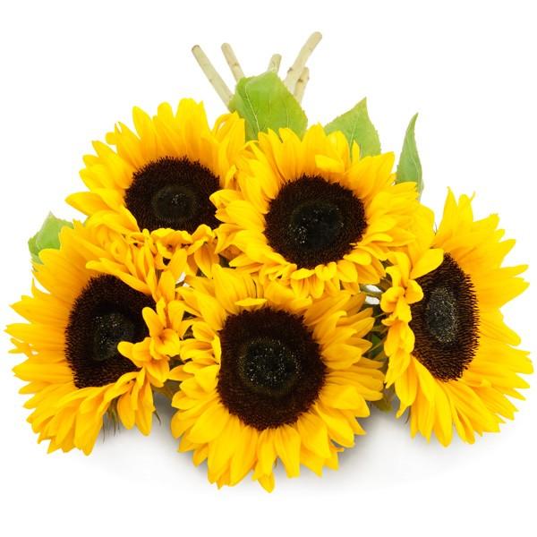 5 7 oder 10 Sonnenblumen im Bund  Nach Preis