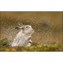 Mountain-Hare-Shaking-Water-Off_2