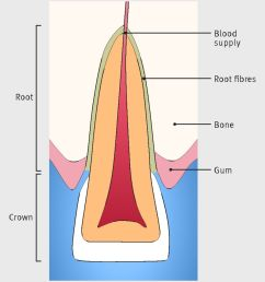 fig 2 anatomy of central incisor upper front tooth  [ 1139 x 1280 Pixel ]