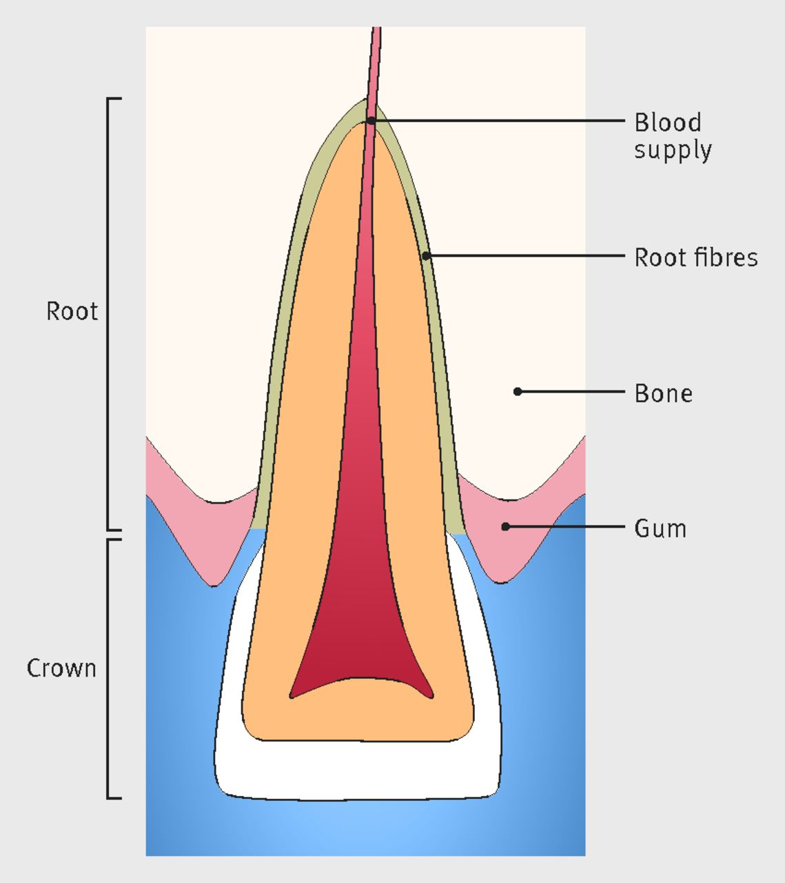 hight resolution of fig 2 anatomy of central incisor upper front tooth