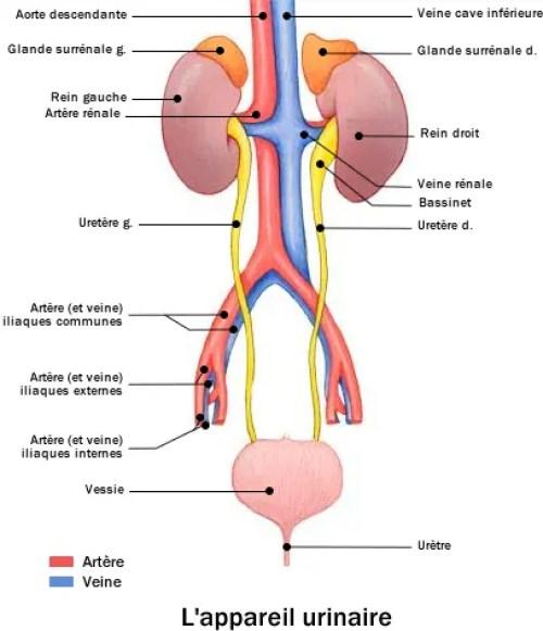 Comment soigner une infection urinaire ?