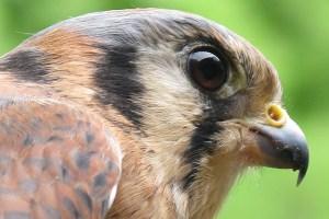 Chayton The American Kestral - Falco Sparverius
