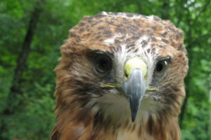 Cheyenne the Red Tailed Hawk - Buteo Jamaicensis