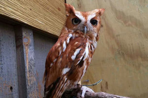 Rasta the Eastern Screech Owl - Megascops Asio
