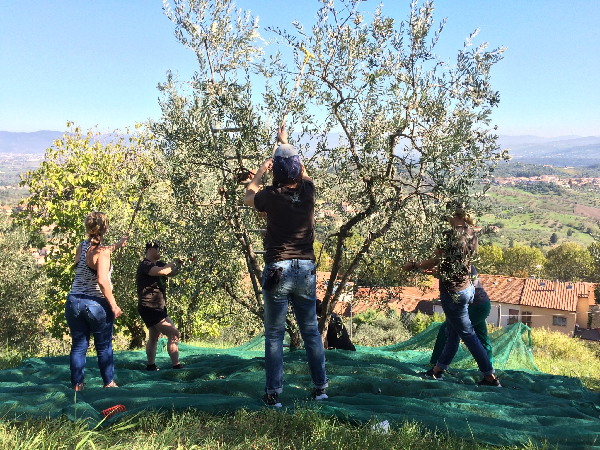 Olive Harvest at our B&B La Rocca in Carmignano, Tuscany (Italy)