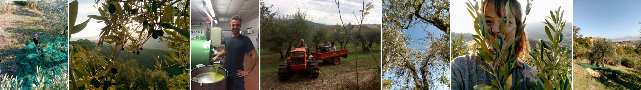 Olive harvest at our B&B La Rocca in Carmignano