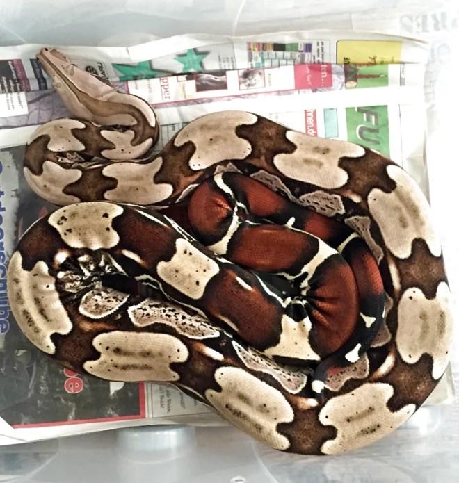 Boa c. constrictor Surinam Super Pokigron2 Carsten Beyer