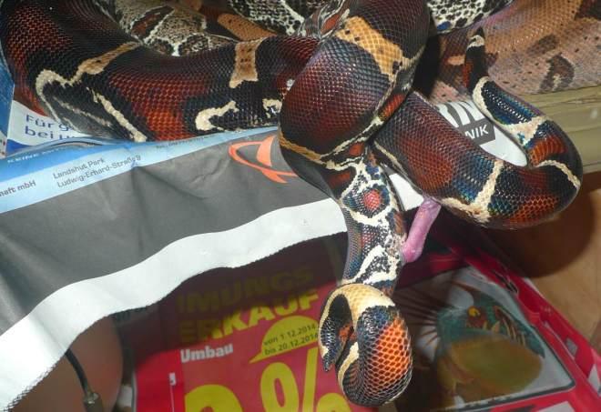 Boa_c_constrictor_Surinam_Pokigron_Paarung