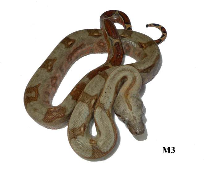 Corn Island Boa Red Nic M3