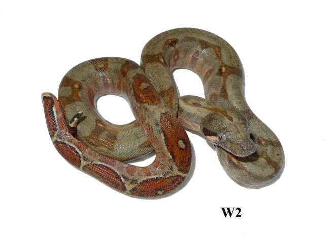 Corn Island Boa Red Nic W2