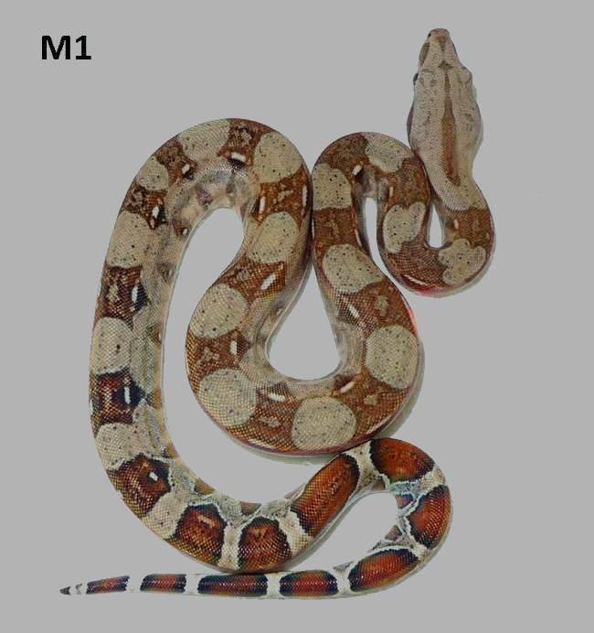 boa-c-imperator-kolumbien-hyperpastell-m1b