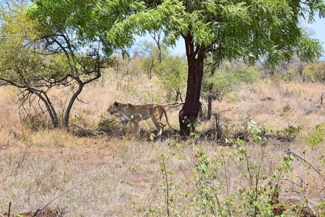 lioness kruger park