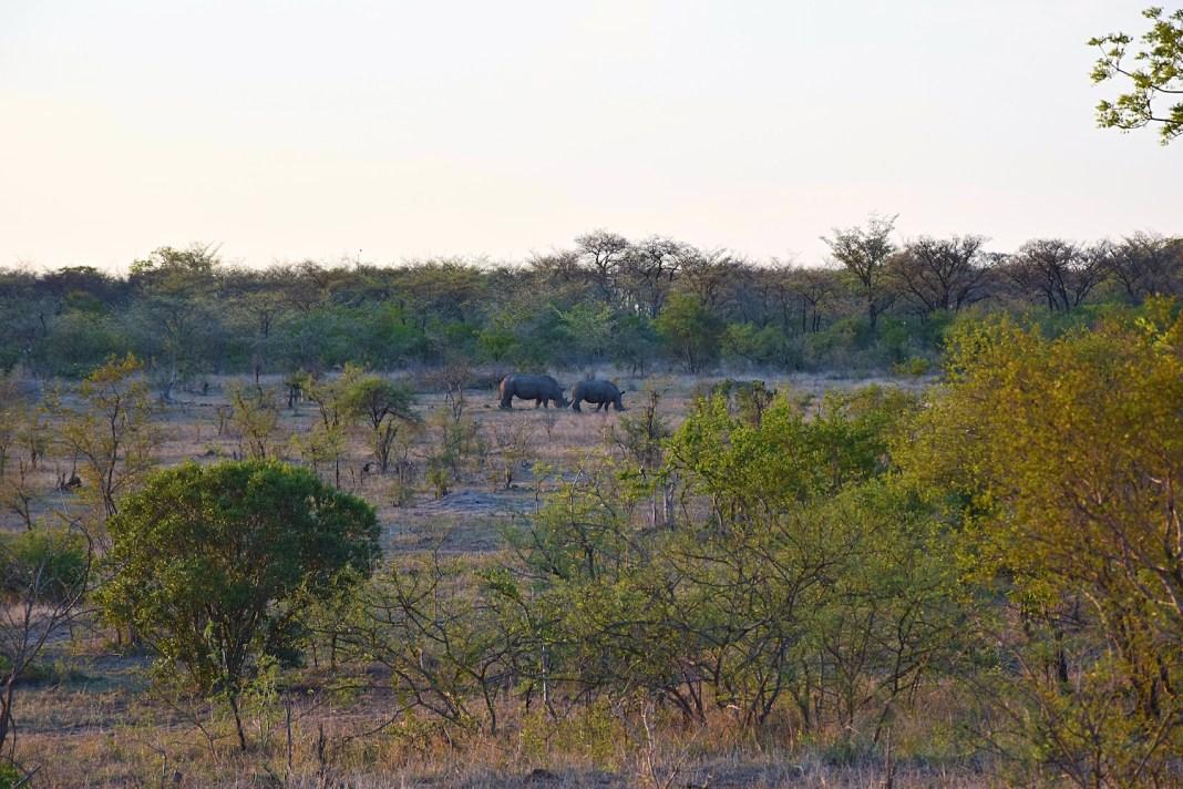 Rhinos in Kruger
