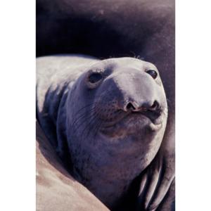 Female Elephant Seal, San Miguel Island