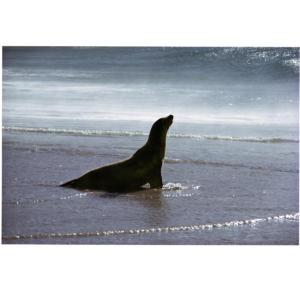 Waterworld, San Miguel Island. Sea Lion at shore in  morning sun