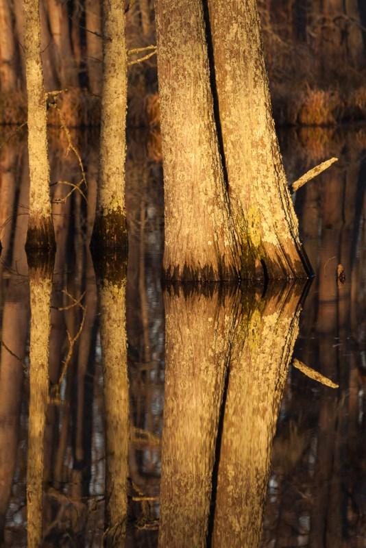 10056. Water tupelo trees at sunrise, Kep, Arkansas
