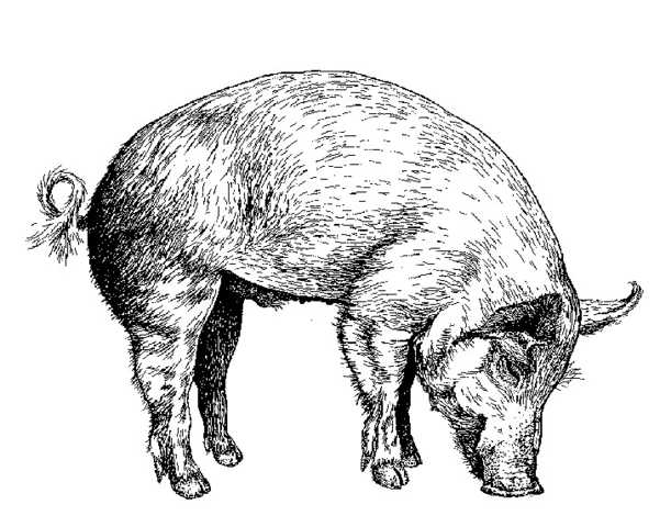 Feral Pigs in Australia: Another Imported Pest!