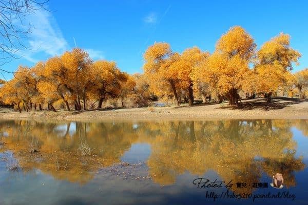 【2013北京、內蒙古】Day4-1額濟納胡楊林(上)。彷彿置身童話世界的天堂,看不盡的金黃秋色。