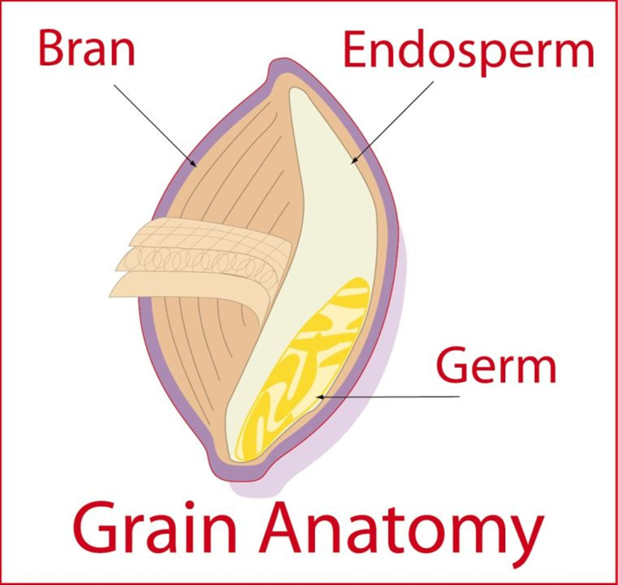 hight resolution of whole grains are more than the sum of their parts bob s red mill blog rh bobsredmill com whole grain diagram metal grain structure