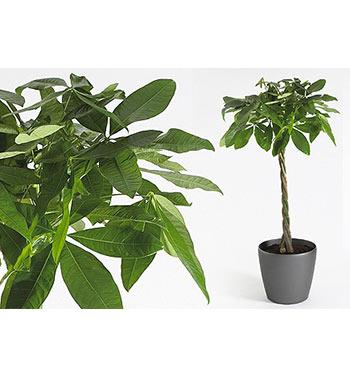 Indoor Plants Photos - group 2 - serving entire Phoenix area - Bobs Tropicals Inc.