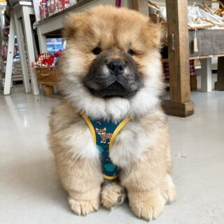 Cuteness overload!!! @simba_chowchow_x came in to visit us today! What a stunning boy ❤️