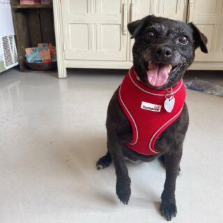 How gorgeous does Queenie look in her new Doodlebone Airmesh harness?! Red is definitely her colour 😍