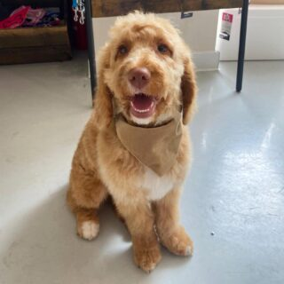 Have 3 of Cookie 🍪 because he was such a good boy for his first trim 🐾 It is really important to get your puppy used to grooming from an early age, we offer a puppy experience from 14 weeks and this will help your dog get used to being groomed, making it a more enjoyable experience for them 🐾🐾