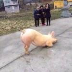 豬跪下,人身慚愧了【影片】
