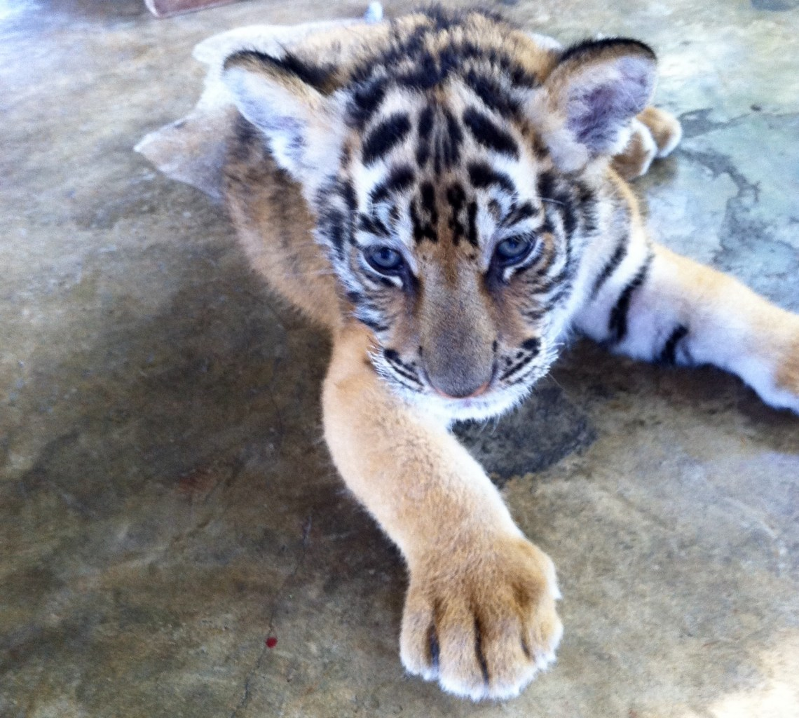 blue-eyed-tiger-baby