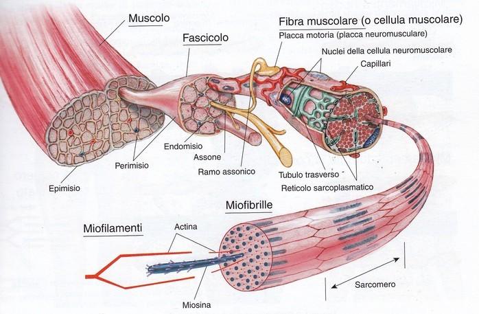 Risultati immagini per muscolo scheletrico
