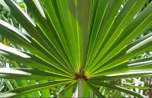 Saw Palmetto And It's Great Benefits To Men's Health