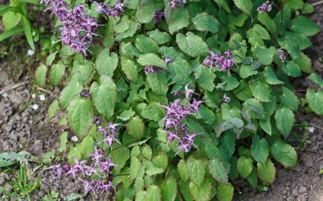 Benefits Of Horny Goat Weed