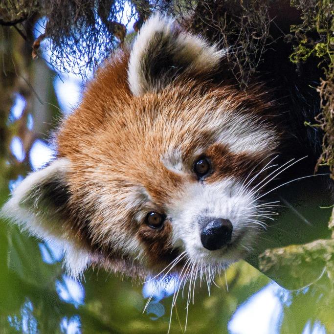 red panda paaru