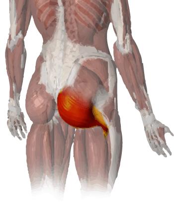 anatomy_lower_glute_vector