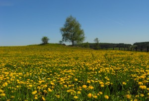 pic-field-dandelions-large