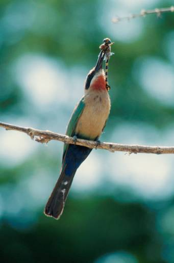 Weißstirnspint / White-fronted bee-eater / Merops bullockoides