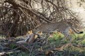 Gepard / Cheetah / Acinonyx jubatus