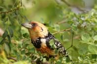 Haubenbartvogel / Crested barbet / Trachyphonus vaillantii