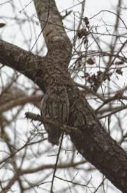 Afrika-Zwergohreule / African scops owl / Otus senegalensis
