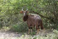Tiefland-Nyala / Nyala / Tragelaphus angasii