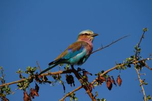 Gabelracke / Lilac-breasted roller / Coracias caudata