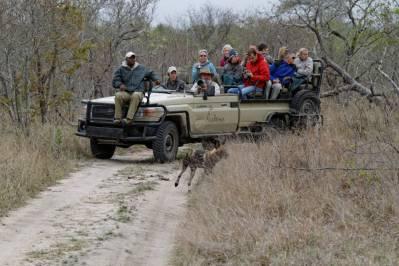 Safari-Jeep der Arathusa Safari Lodge mit Ranger als Fahrer/Guide und Tracker vorne, davor Afrikanische Wildhunde (Sabi Sand Game Reserve)