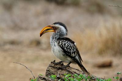Gelbschnabeltoko / Eastern yellow-billed hornbill / Tockus flavirostris