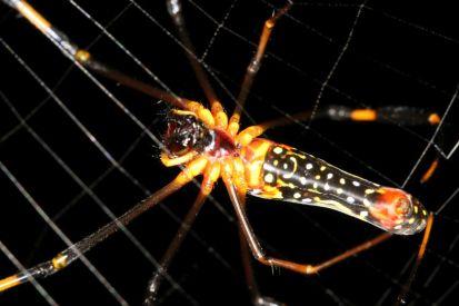Seidenspinnen / Golden orb-weavers / Nephilidae