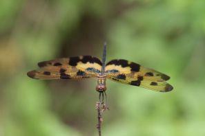 Segellibellen / Skimmers, Perchers / Libellula