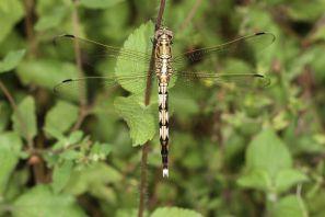 Östlicher Blaupfeil / White-tailed Skimmer / Orthetrum albistylum